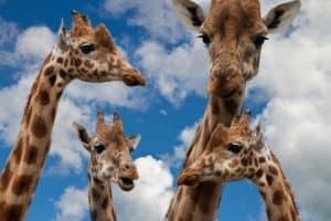 Dialogue Tags-Giraffes