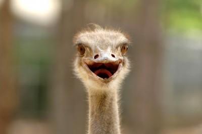 """Eek"" vs. ""Eke"" Ostrich"