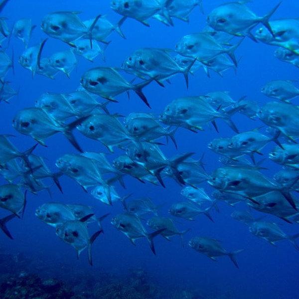 """""""School of Fish"""" vs. """"Shoal of Fish"""""""