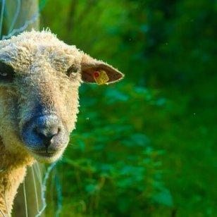 Sheep wants to unfriend you